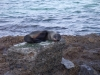 Seal_on_a_Rock
